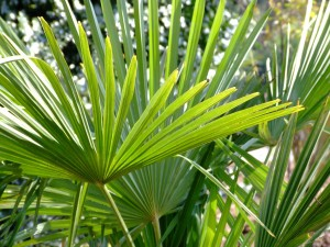 Palm leaves in photo entitled Palm Sunday